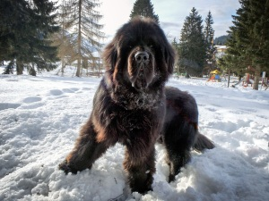 Coda the Newfie